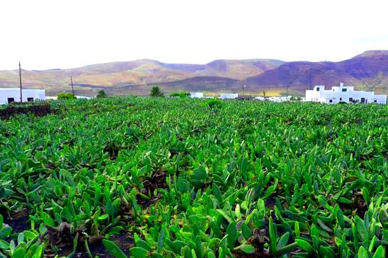 Cactus-Field-Lanzarote