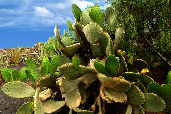 Opuntia-Ficus-Cactus-Detox-Retreat